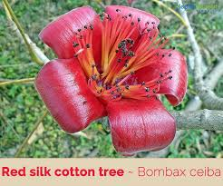 Silk Cotton: A Tree With Medicinal Properties