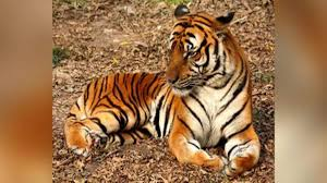 In a first, Bronx zoo tiger 'Nadia' tests positive for Covid-19, develops dry cough, loss of appetite